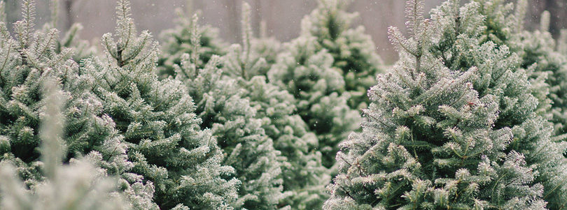 Ask the Superintendent – Real Christmas Trees